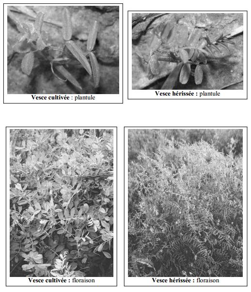 Guide des mauvaises herbes permaculteurs (28)