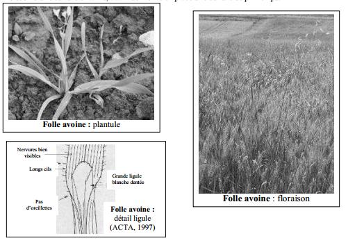 Guide des mauvaises herbes permaculteurs (47)