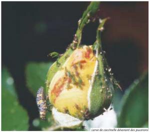 larve coccinelle