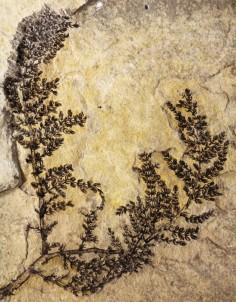 La Montsechia vivait dans l'eau douce. La découverte de fossiles a permis d'établir qu'elle est la mère des plantes. Photo DR