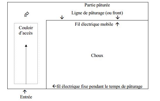 le chou fourrager (2)