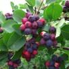plants-amelanchiers