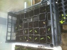 semis auberines
