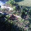 pyramide de fraise