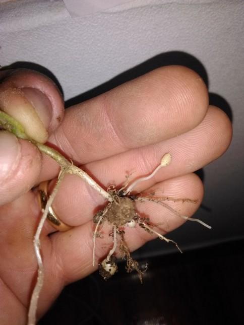germination d'une mini pdt